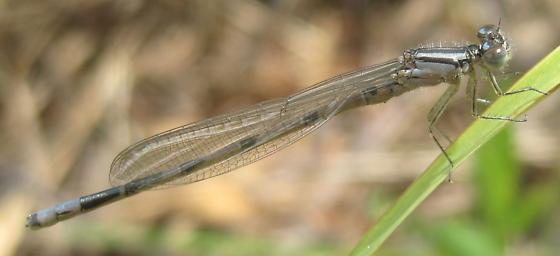 Tom Swamp bluet - Enallagma laterale - male