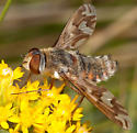 Patterned-wing bee fly - Poecilanthrax willistonii