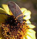 Largus californicus