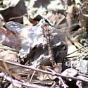 Brown-eyed dragonfly - Ladona deplanata
