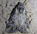 Unknown moth - Hadenella pergentilis