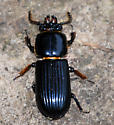 Beetle Returns to Upright - Odontotaenius disjunctus - Horned Passalus