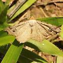 Red-headed Inchworm - Hodges#6342 - Dorsal - Macaria bisignata - female