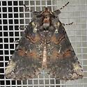 Moth - Ceranemota albertae