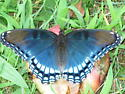 Large beautiful butterfly - Limenitis arthemis
