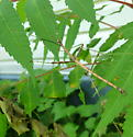 Northern Walking Stick - Diapheromera femorata - male