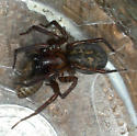 Big Brown Spider - male