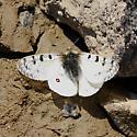 Rocky Mountain Apollo - Parnassius smintheus - male