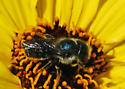 Caspers bee for ID - Osmia coloradensis - female