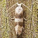 Unknown micro moth - Corticivora parva