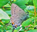 California Hairstreak - Satyrium californicum - male