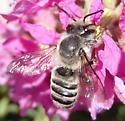 gray bee - Megachile