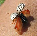 Calligrapha Beetle - Calligrapha suturella