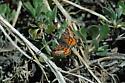 Red-winged Wave (Dasyfidonia avuncularia) - Dasyfidonia avuncularia