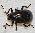 Unknown beetle - Paria