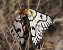 Hera Buckmoth - Hemileuca hera - male - female