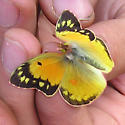 butterfly - Colias eurytheme - female