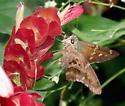 Butterfly, skipper - Urbanus proteus