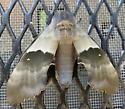 Modest Sphinx - Pachysphinx modesta