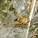 Tephritidae - Urophora affinis