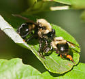 robber fly with bumble bee - Laphria thoracica