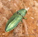 Another Green Buprestid... - Chrysophana placida