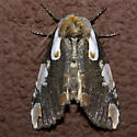 Dogwood Thyatirid Moth - Hodges#6240 - Euthyatira pudens