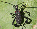 Leaf-footed Nymph? - Leptoglossus