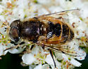 Fly on Dogberry Bush - Eristalis arbustorum