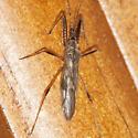 Damsel Bug - Metatropiphorus belfragii