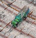 Cuckoo wasp - Chrysis nitidula-complex