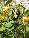 Black & Yellow Argiope - Argiope aurantia