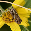 Lepidoptera unless it's not - Megalographa biloba