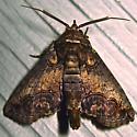 Large Paectes - Hodges #8962 - Paectes abrostoloides - male