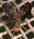 lauxaniid fly - Trypetisoma sticticum