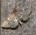 moth at light - Anageshna primordialis