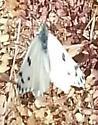 white butterfly - Pontia beckerii