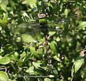 Dragonfly - Anax amazili