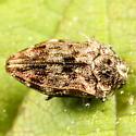 Brachys - Brachys aeruginosus