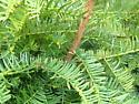 Oecanthus pini - male