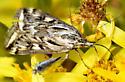 Loxostege cereralis - Alfalfa Webworm - Loxostege cereralis