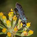 Small Spider Wasp? - Psorthaspis planata - male