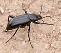 Another Darkling Beetle - Eleodes