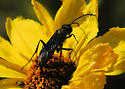 Who is this wasp from the Dark Side? - Podalonia