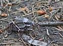 Grey/Purple hopper type  - Cyphoderris - male