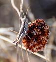 Grasshopper - male