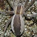 Spider on tree - Pisaurina mira