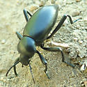 ID for a beetle? - Eleodes