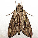 Plebeian Sphinx Moth - Hodges #7793 - Paratrea plebeja