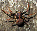 Spider 2 - Ozyptila